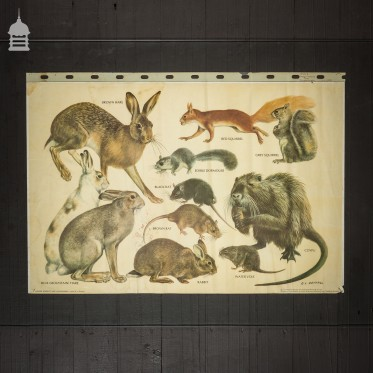 Vintage Larger Rodents and Lagomorphs Educational School Poster