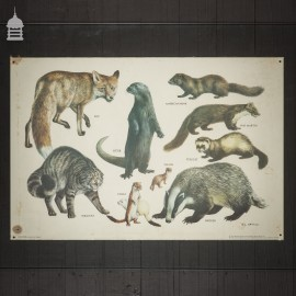 Vintage Carnivores Poster by The Mammal Society