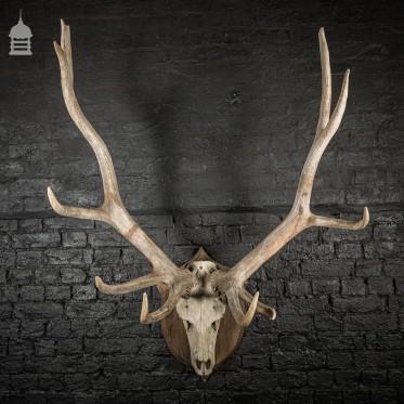 Monumental Set of Rowland Ward Mounted Wapiti Elk Antlers