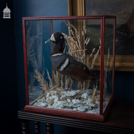 Harlequin Duck Taxidermy in Mahogany Display Case