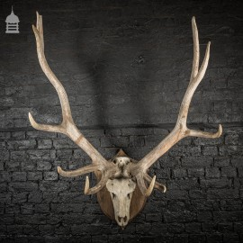 Monumental Set of Rowland Ward Mounted Wapiti Elk Antlers