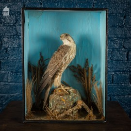 Late 19th C Taxidermy of a Hawk Perched on Faux Rock in Display Cabinet