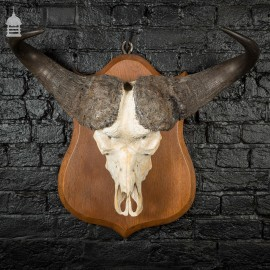 19th C Mounted Cape Buffalo Skull and Horns on Oak Plaque